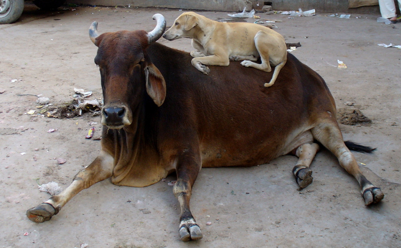 Modi's India: Holy Cows, Unholy People