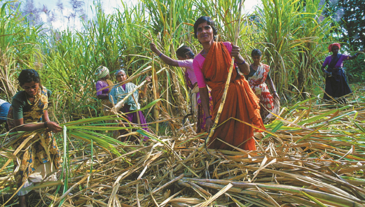 sugarcane harvesters in south gujarat are trapped in
