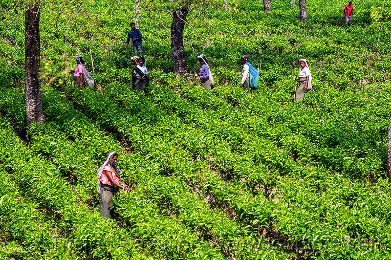 Basic Welfare Provisions For Tea Estate Workers Under Threat