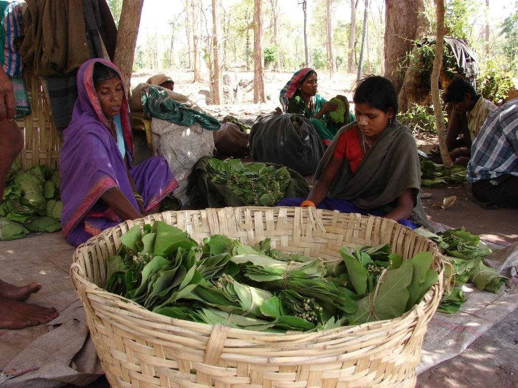 tendu leaf farmers