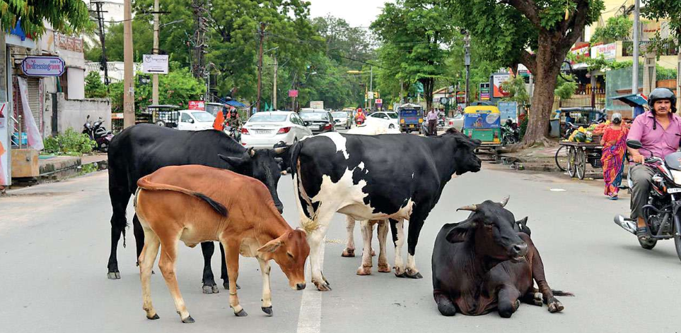 Budget:750 Crore for Cows