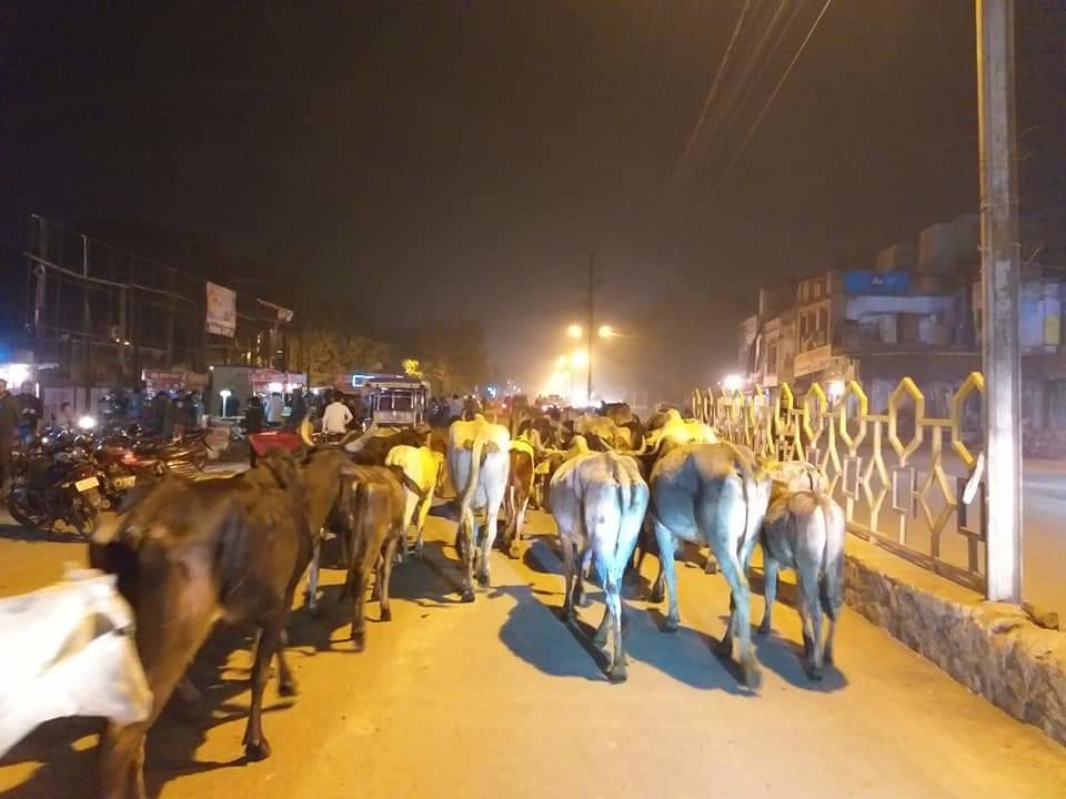 Stray Cows the Real Problem in Chambal in MP