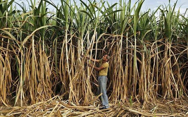 Sugarcane Farmers Across India Wait for Dues Worth Rs 24,000 Crore   NewsClick