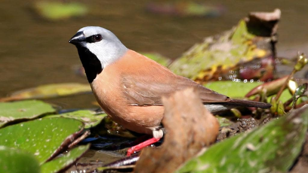 Australia Rejects Adani's Plan On Endangered Bird, Delaying Mine Project