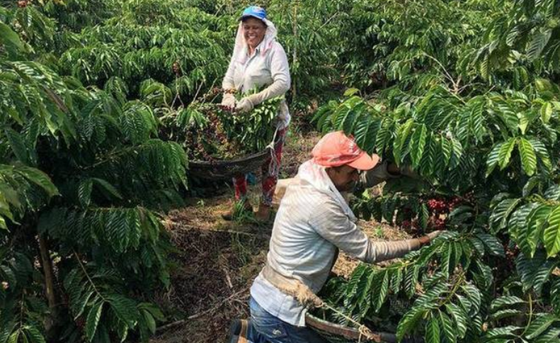Tax Issue Prevents Small Coffee Growers