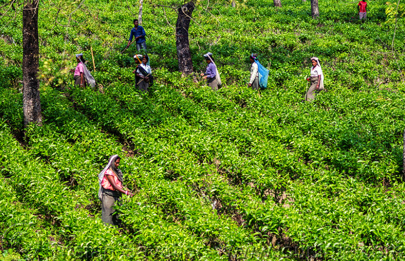Bengal's Tea Plantation Workers