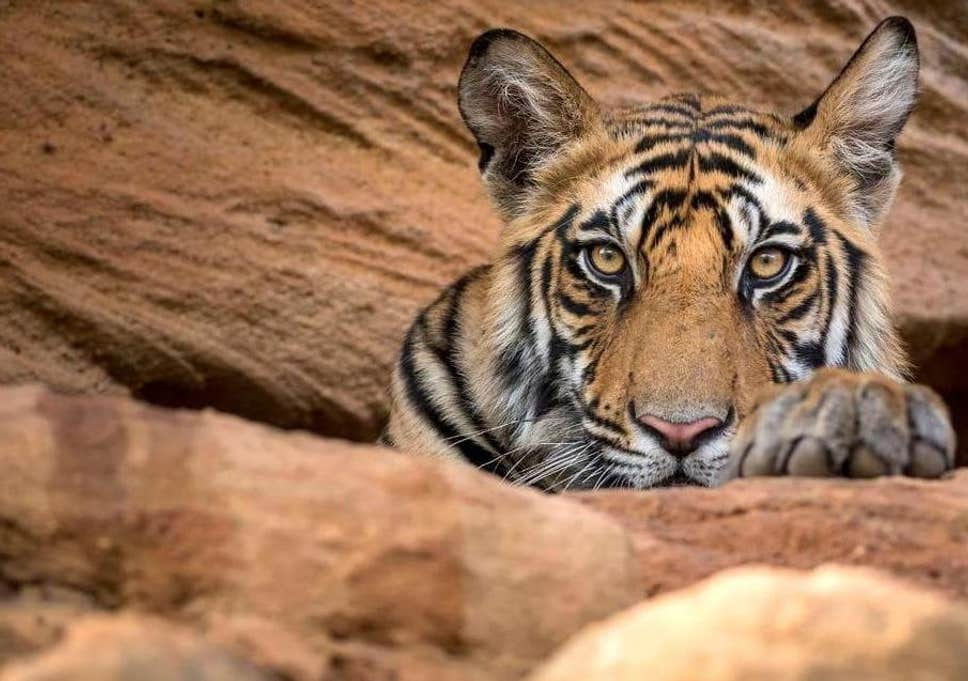 Uranium Mining Set to Destroy India's Second Largest Tiger Reserve
