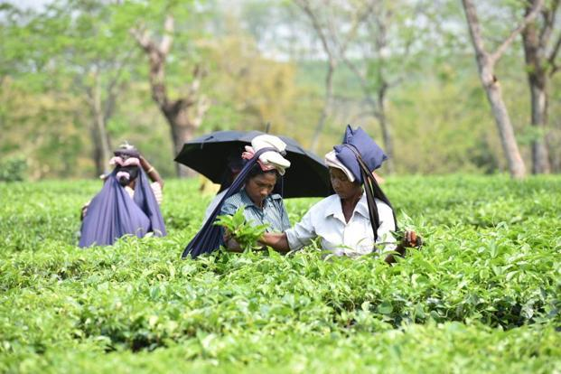 Tea Garden Workers Assam