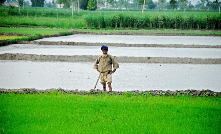 Punjab Farmers to Shift From Paddy