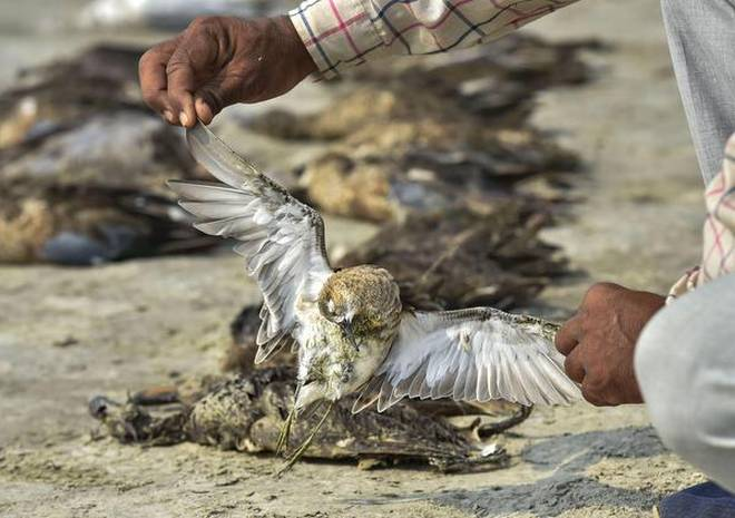 Over 1,500 Migratory Birds Found Dead Near Jaipur's Sambhar Lake