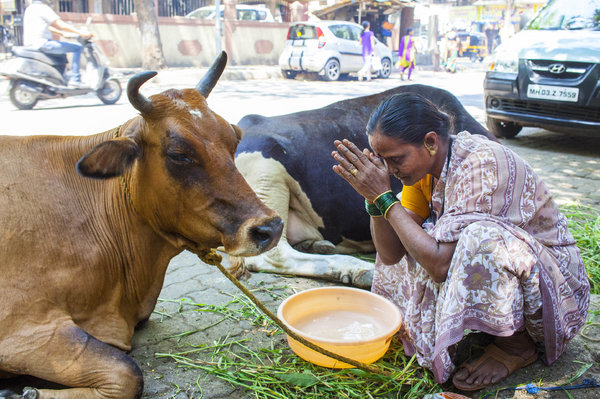 The holy cow in India