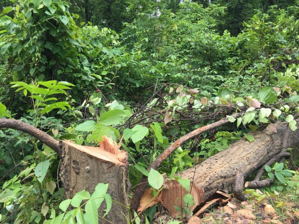 Talabira Odisha: Over 40,000 Trees Removed to Pave Way for Adani's Mine