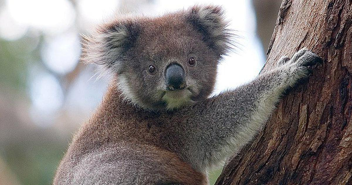 Bushfire: Australia May List Koalas as 'Endangered' Species