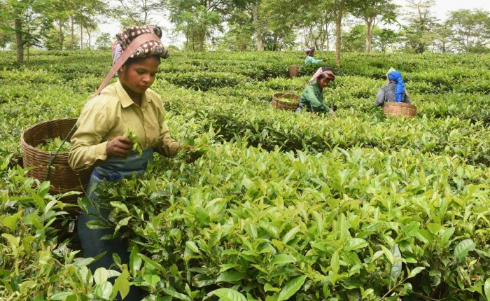 In Assam, Tea Production Record High, Show Cause Notices Served