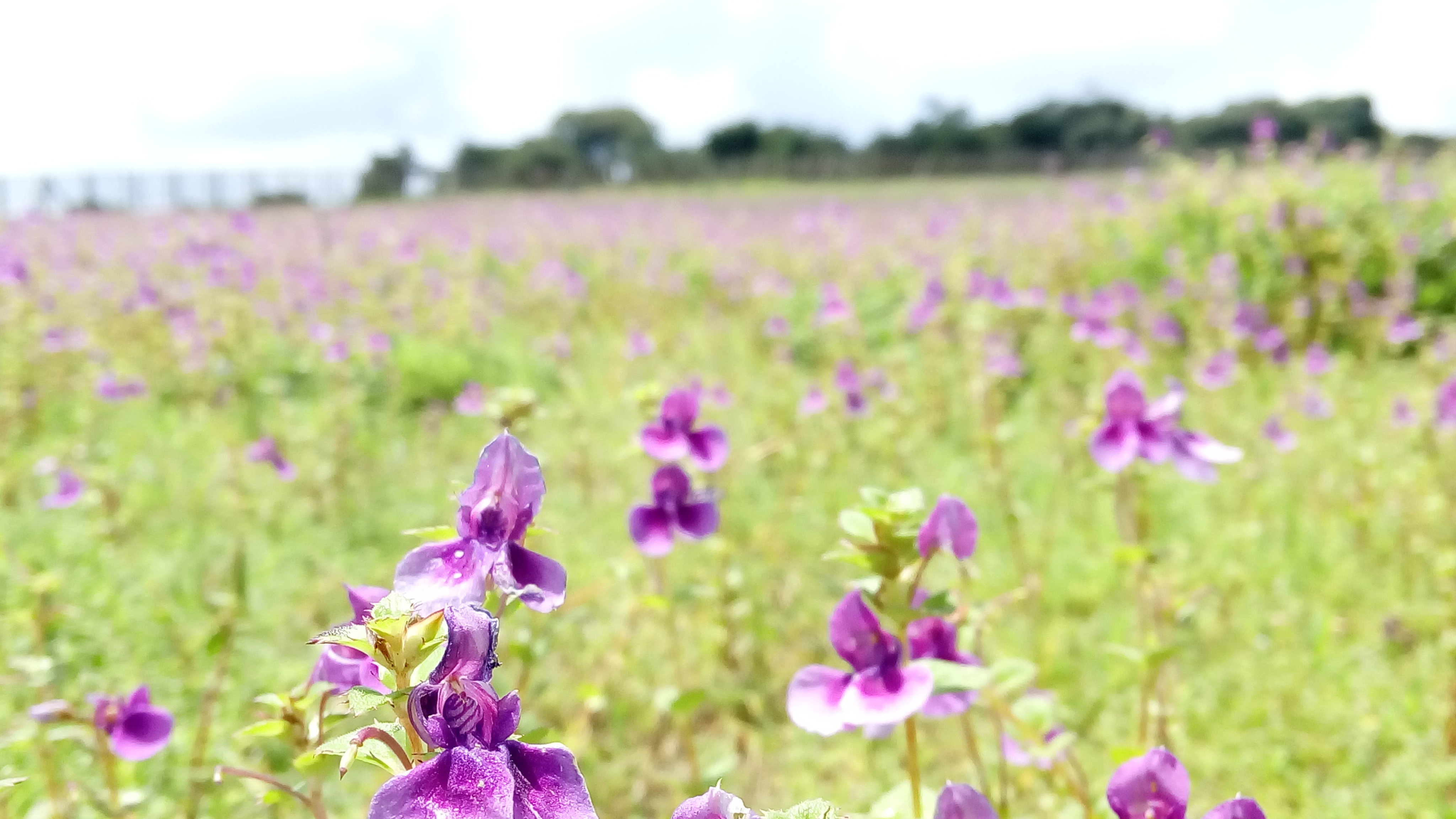 Maharashtra's Blooming Flower Industry Succumbs to COVID Chills