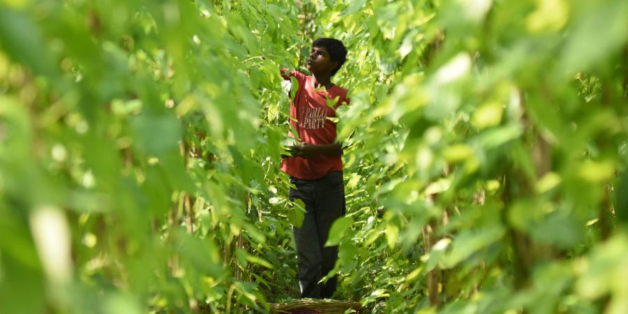COVID-19: Odisha's Betel Farmers Stare at Losses Worth Rs 10,000 Crore as Stocks Rot
