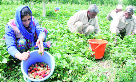 UP: Strawberries Rot and Watermelons Wither as Lockdown hits Fruit Farmers in the State