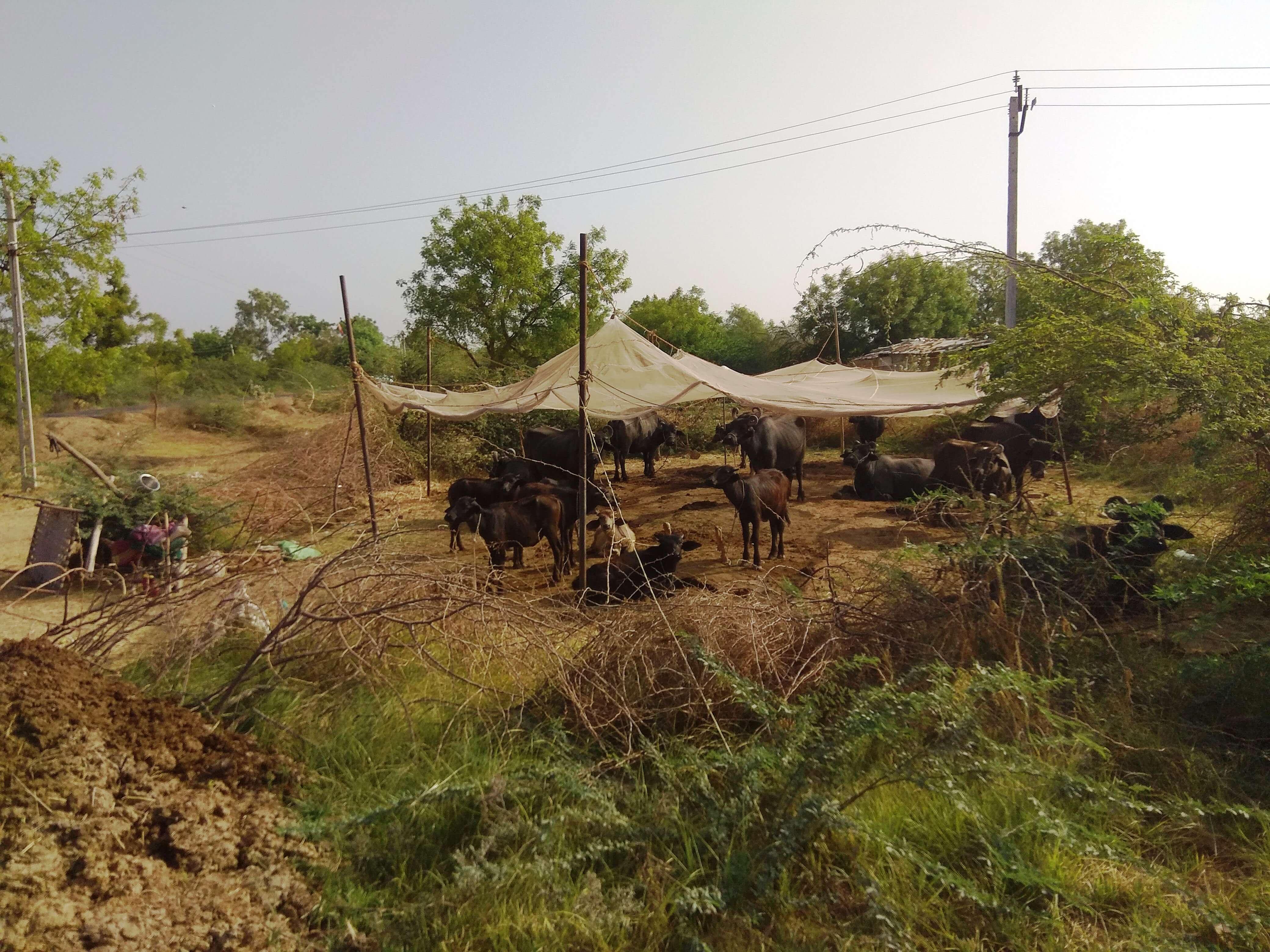Cattle%20base%20distant%20from%20nomadic%20shelter%20(1).jpeg