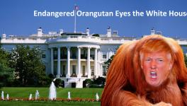 Endangered Orangutan Eyes the White House