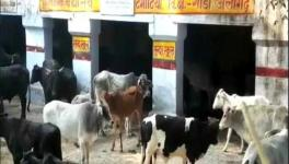 UP Govt to Charge 2% 'Gau Cess'