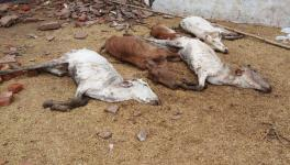 Over 200 Cows Deaths Reported Due to Overcrowding in Greater Noida Shelter