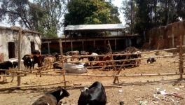 stray cows die in yogi raj