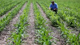 GM Crop Regulation: Government Continues