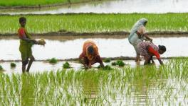 Haryana Govt. Wants Farmers to Leave Paddy Cultivation to Arrest Depleting Groundwater Table