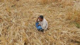 COVID-19: 'Crops Destroyed, are Forced to Starve,' say Madhya Pradesh Farmers