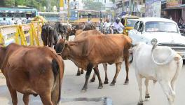 COVID-19 Lockdown: Starving Hordes of Stray Cattle Pose Huge Threat to Crops During Harvesting Season