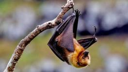 How the Deadly Nipah Virus Jumps From Bats to Humans Found: Study