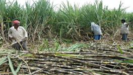 With Exploitative Mills in Wait, TN's Cane Farmers Apprehensive of New Contract Farming Law
