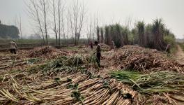 UP: With Dues Piling up, Sugarcane Farmers Await Prices for This Season
