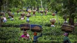 Bengal Elections: 12 Seats in Next 2 Phases Hinge on Vital Tea Garden Worker Votes
