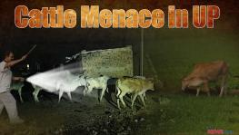 cattle menace in UP