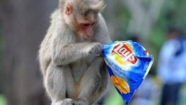 Monkey Fever Cases Reported in Karnataka