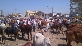 #MahaDrought: Cattle Ban Ideologically Motivated, Harmful for Rural Economy, Say Farmers