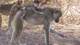 'Genetics Vs Environment' Debate: Findings on Baboon's Gut Microbial Make-up Throw New Light