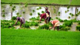Bihar: Heavy Rains Bring Ray of Hope for Paddy Farmers, Threat of Floods Looms Large