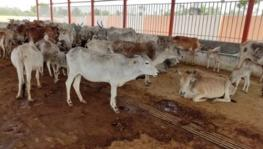 UP Govt. Proposes Gau Sewa Aayog to Provide Certificate to People Transporting Cows