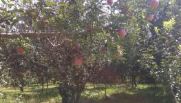 Kashmir: Apples Caught in a Siege, Growers Willing to 'Sacrifice' Harvest