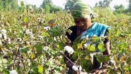 Odisha:  How Illegal Bt Cotton is Making Inroads into Tribal Pockets of Niyamgiri