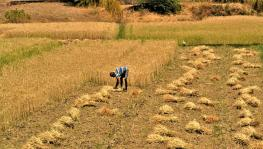 COVID-19 in Rural India- III: Farmers in UP's Lasara Kalan Worried Over Delayed Wheat Harvesting, Lack of Agri Labour