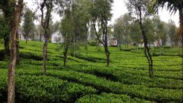 Tea Plantation of Thettamala, Kerala