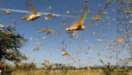Desert Locust Swarms Hit Parts of India