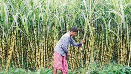 Sugarcane Farmers in UP Still