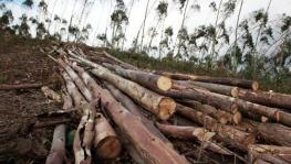 Timber Mafia Chops Down Over 1,000 Trees
