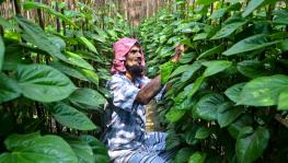 Lockdown Woes: Betel Leaf Farmers in 2 West Bengal Districts at Their Wit's End