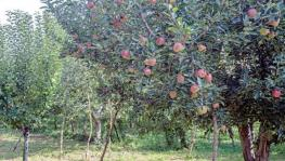 Hundreds of Apple Trees Vandalised in South Kashmir Village, Orchardists in Distress