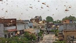 Locust Swarm in Gurgaon: Delhi Govt Puts All Districts on High Alert